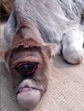 Vaca de un sólo ojo nacida en India / Captura Facebook