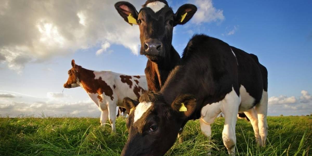 Nace vaca de un sólo ojo en India y su aspecto aterra al mundo