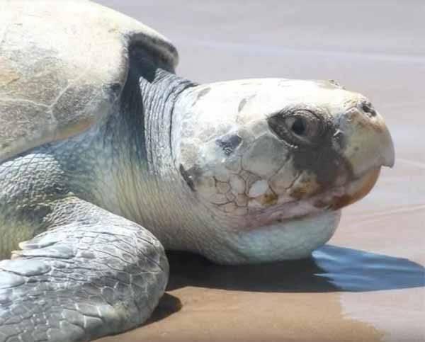 La tortuga lora está en peligro crítico de extinción. Foto: animalespeligroextincion.org