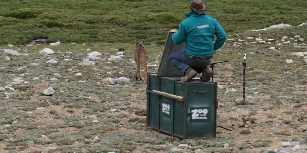 ¡Ya es libre!: Puma rescatado en Lo Barnechea fue dado de alta y ahora da vueltas feliz por la cordillera de los Andes