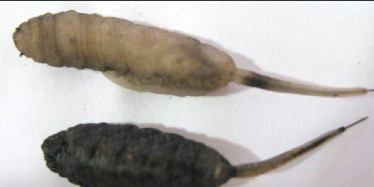 "Un australiano graba un ""gusano rata"""