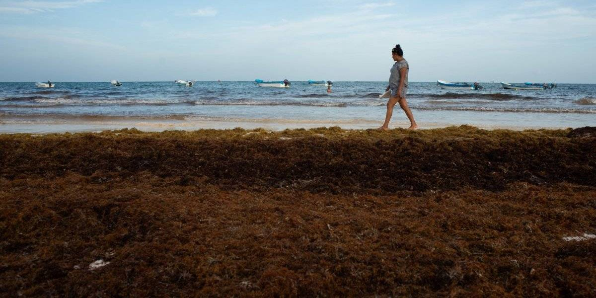 Sargazo llegará de forma masiva a Quintana Roo