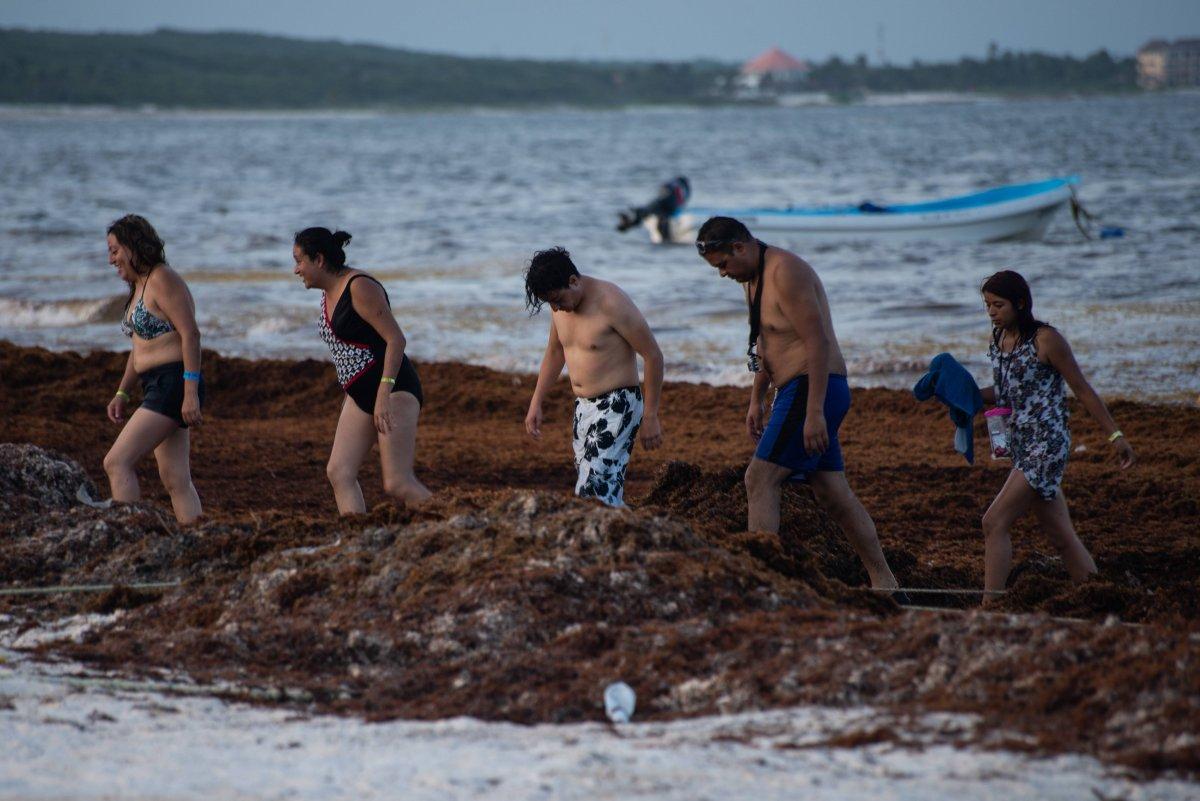 Los científicos analizaron dos tipos de algas que han llegado a las playas de Puerto Morelos, Solidaridad y Othón P. Blanco Foto: Cuartoscuro