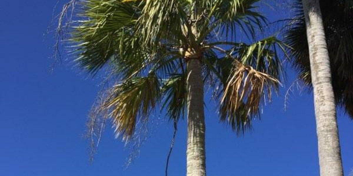 Matan palmas en peligro de extinción en Playuela