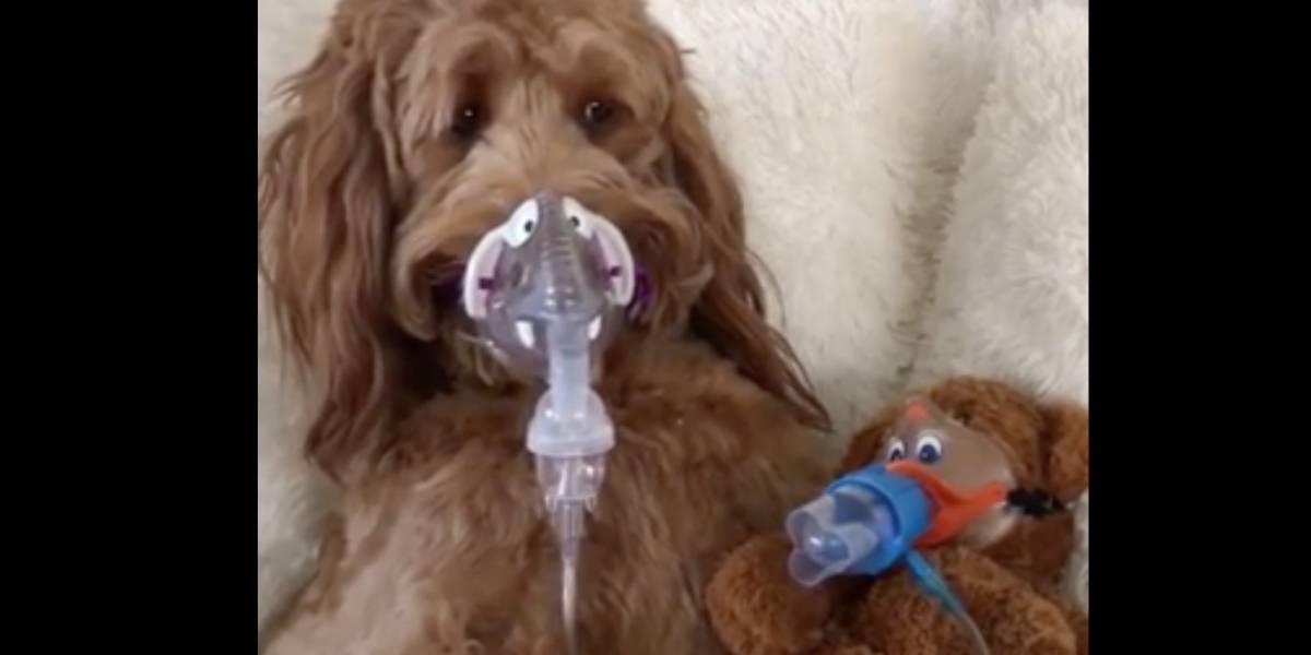 Me enamoré: perrito no quiere usar inhalador y dueño encuentra una adorable forma