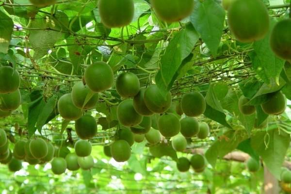 la fruta del monje