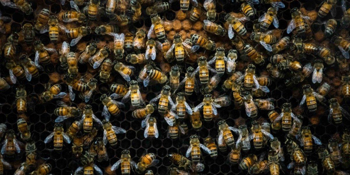 Urgen investigar medidas para la preservación de abejas