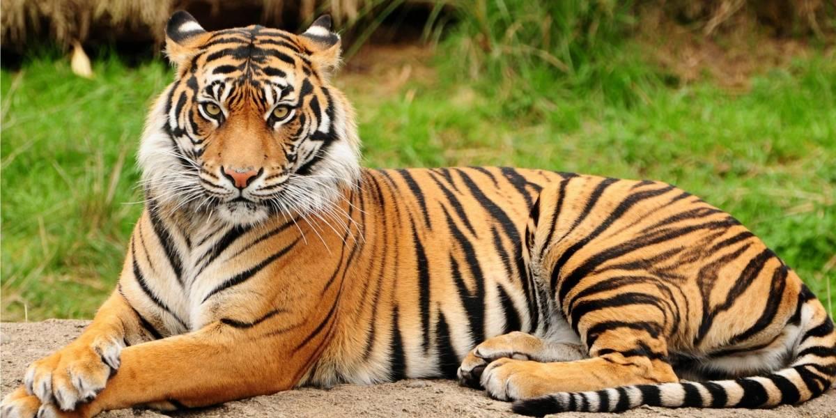 Los tigres podrían extinguirse dentro de una década según organización animalista
