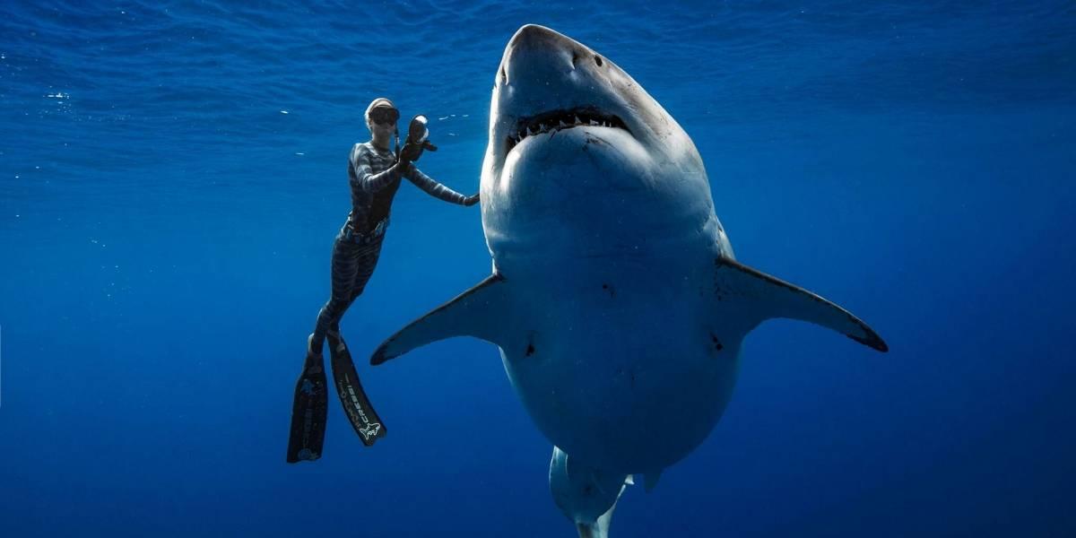 Vuelven a encontrar a Deep Blue, el tiburón blanco hembra más grande del mundo