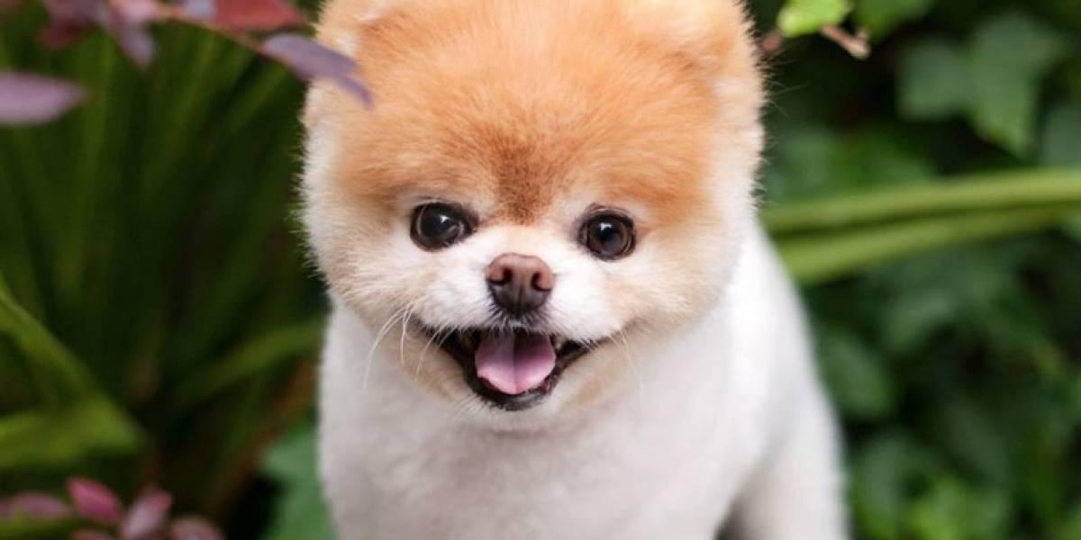 ¡Nooooo!: muere Boo, el adorable perrito con más de 16 millones de seguidores