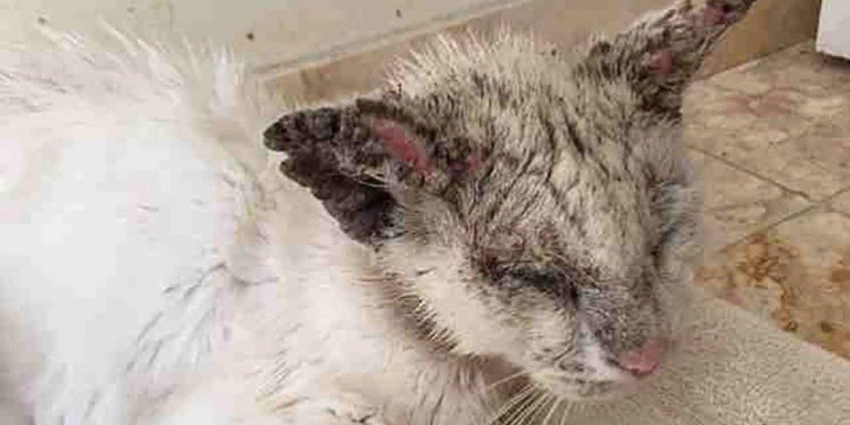 Mujer adopta a gato callejero desnutrido, aterrado y lleno de sarna: lo cuidó por semanas y cuando abrió los ojos le regaló la mayor de las sorpresas