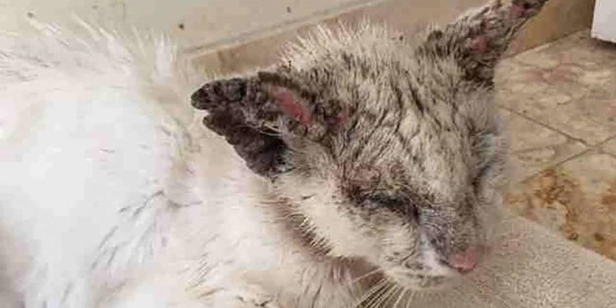 Mujer adopta a gato callejero desnutrido, aterrado y lleno de sarna
