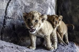 Terrible: cuatro cachorritos de león mueren congelados apenas dos horas después de nacer en zoológico