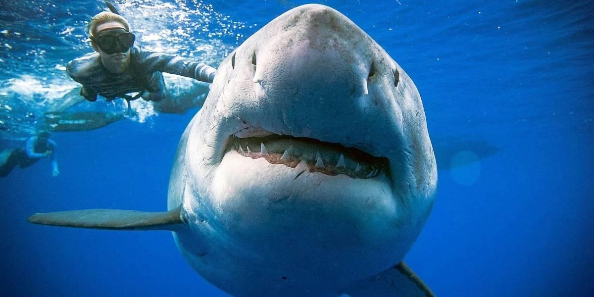 """Buceadores registran cómo """"Deep Blue"""", el tiburón blanco más grande del mundo se da un gran festín en aguas de Hawaii"""