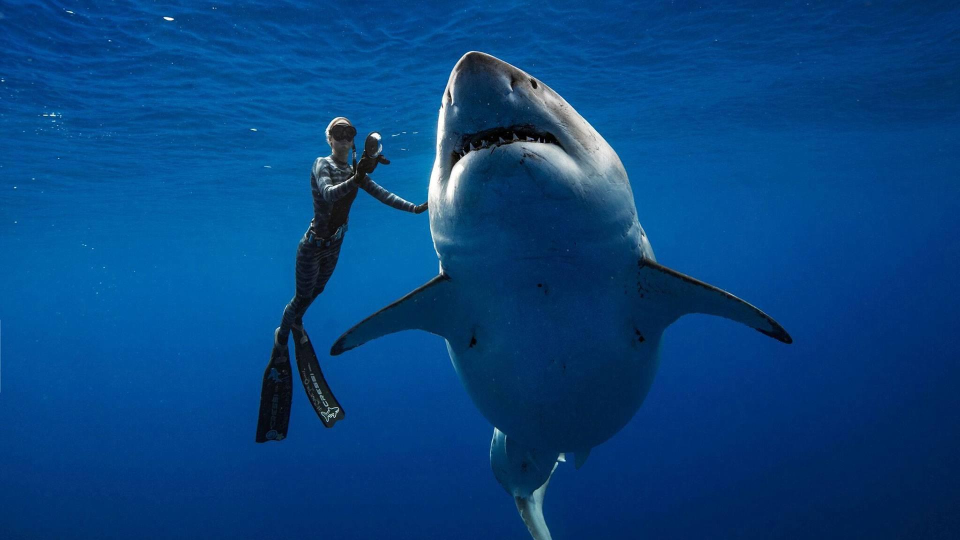 Buceadores registran cómo el tiburón blanco más grande del mundo se da un gran festín en aguas de Hawai