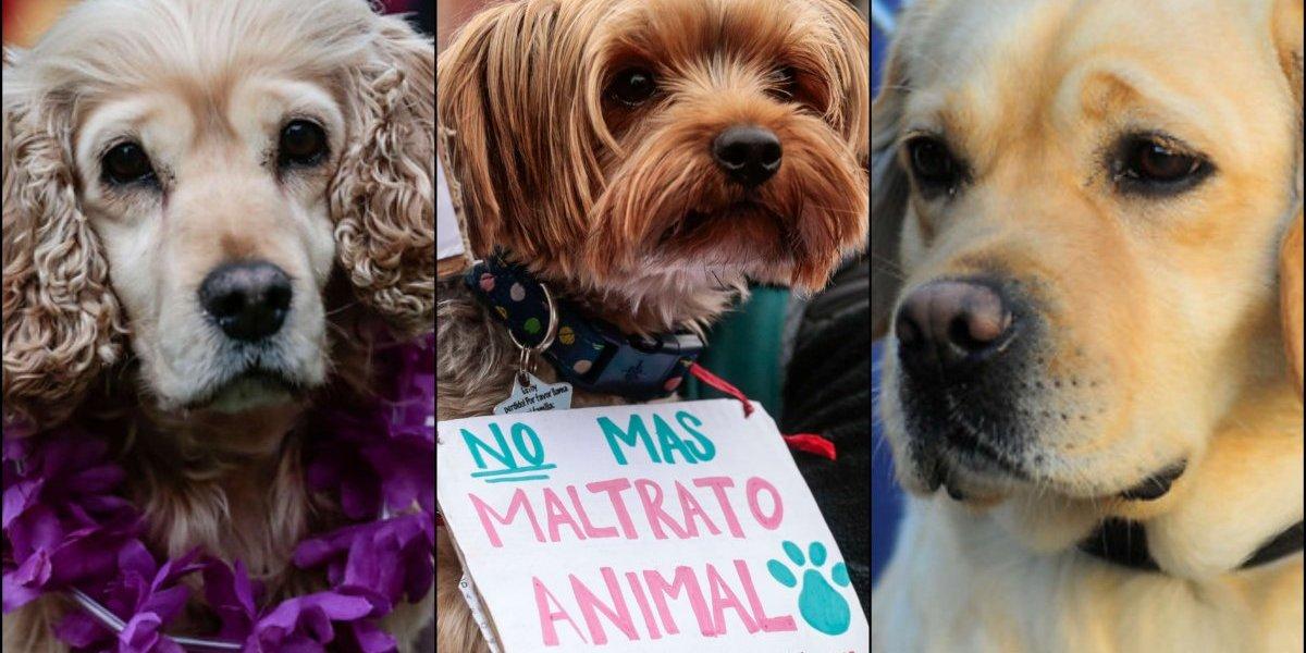 Sólo pasa en Chile: intentó salvar a una perrita que moría de calor dentro de una camioneta pero fue detenido