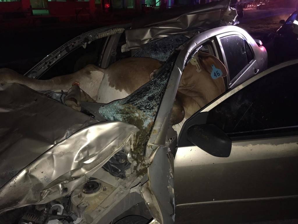 El hombre arrolló la vaca mientras transitaba por la carretera PR-2 en San Germán. / Suministrada