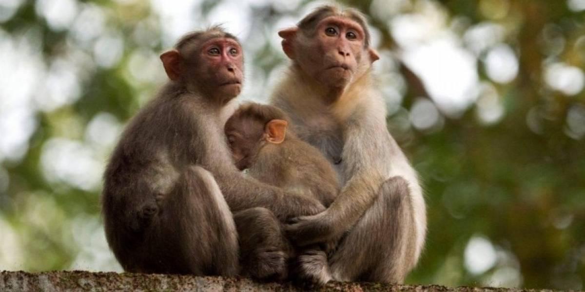 Científicos chinos clonan a monos para estudiar desórdenes psicológicos