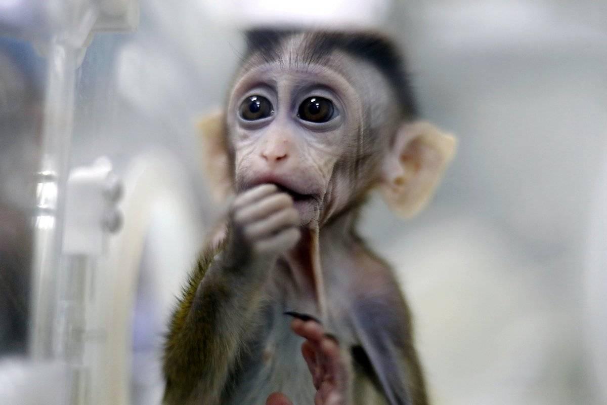 macaco clonado