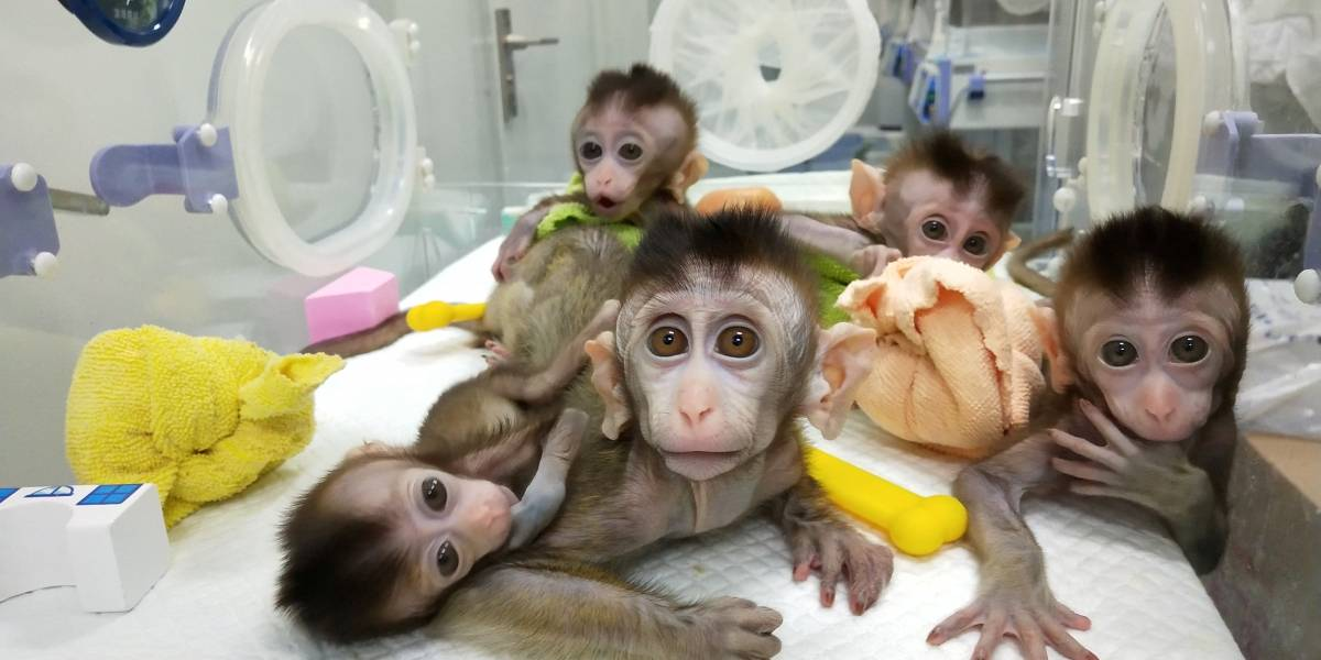 China clona cinco macacos para investigar doenças em humanos