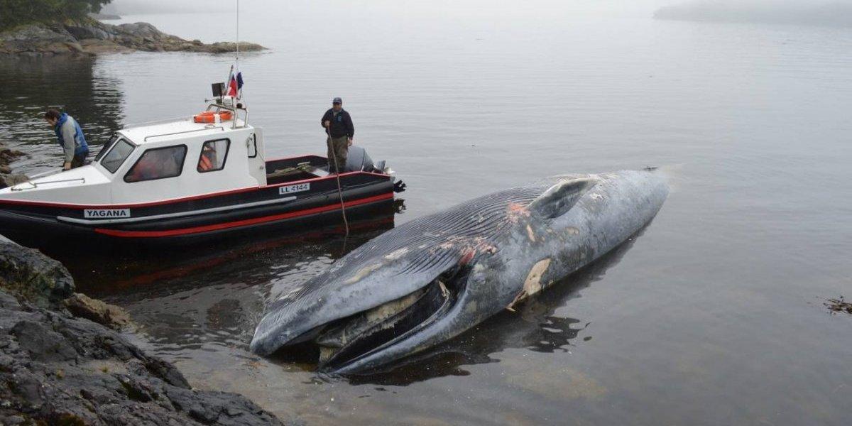 Una de cada tres ballenas en el mundo muere tras ser embestida por una embarcación