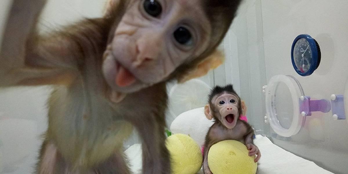 China crea cinco clones de macacos modificados genéticamente