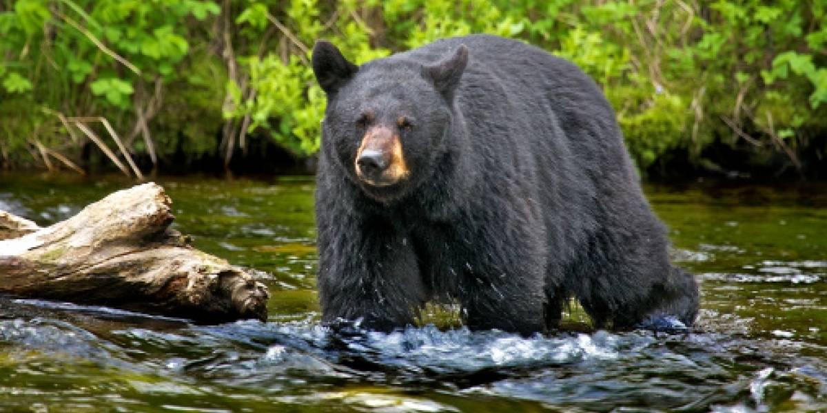 """Niño de 3 años se pierde en un bosque y revela sorprendente confesión tras ser hallado dos días después: lo cuidó un """"oso amistoso"""""""