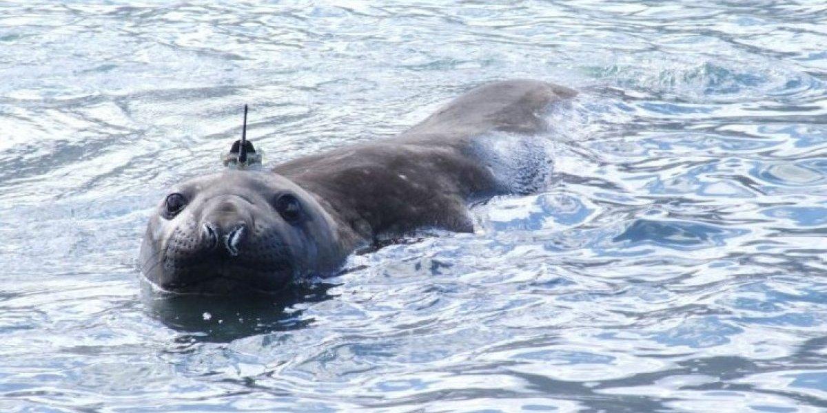 El tierno ejército que puede salvar al mundo: con focas analizarán gigantesco glaciar en la Antártica que está en riesgo de colapsar