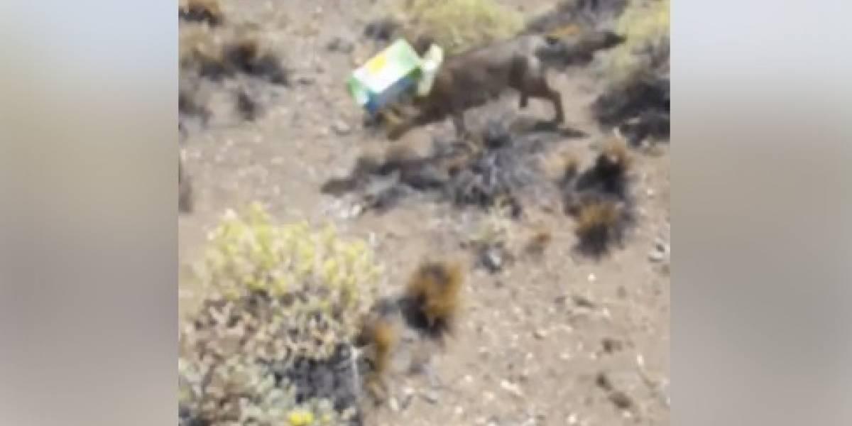 Lo salvó de una trágica muerte: se transformó en héroe en redes sociales por rescatar a zorro que vagaba en la Patagonia con plástico atascado en su cabeza