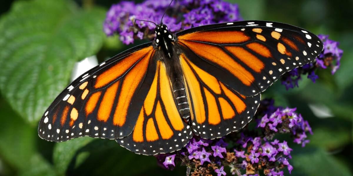 Población de mariposa monarca en México aumenta 144%