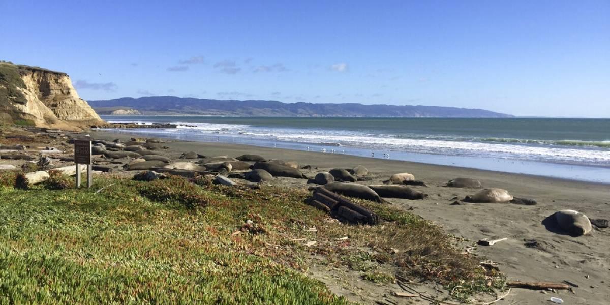 Focas invaden playa de California durante cierre de gobierno