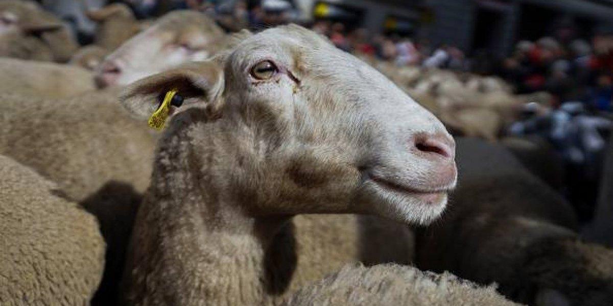 Cómo tanta violencia: condenan a granjero por dar puñetazos a ovejas en la cara