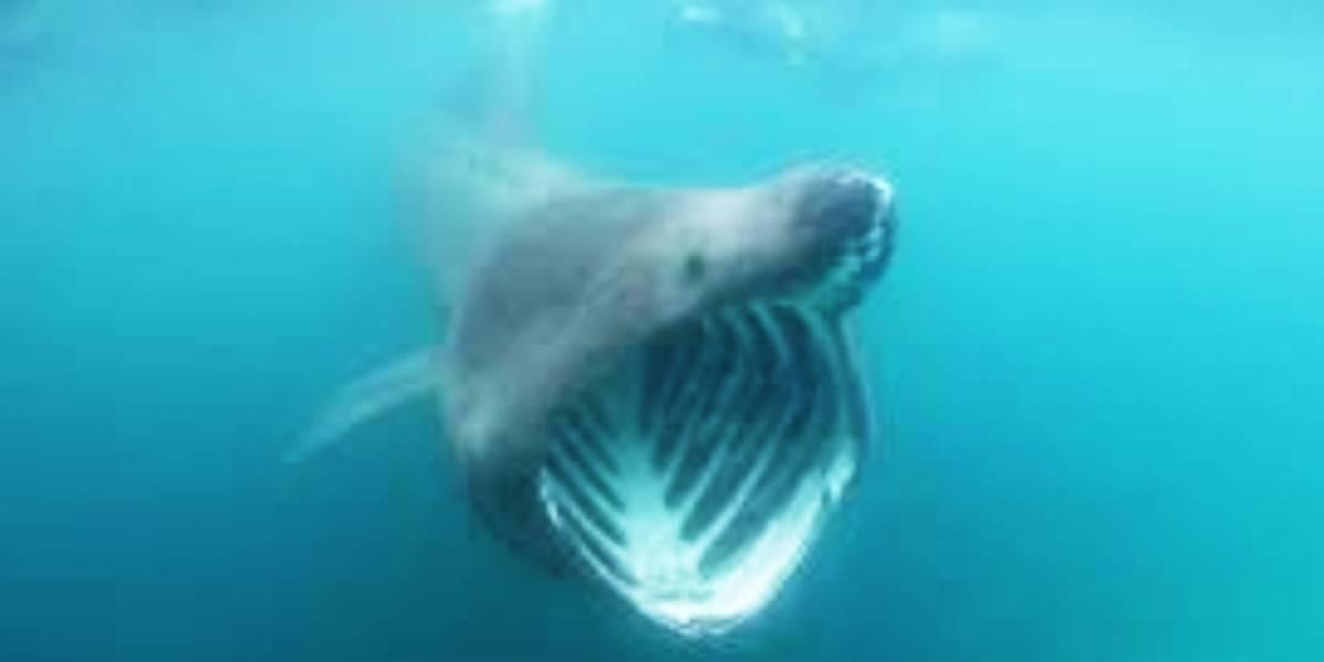 Aún existen los tiburones gigantes, pero estamos acabando con ellos
