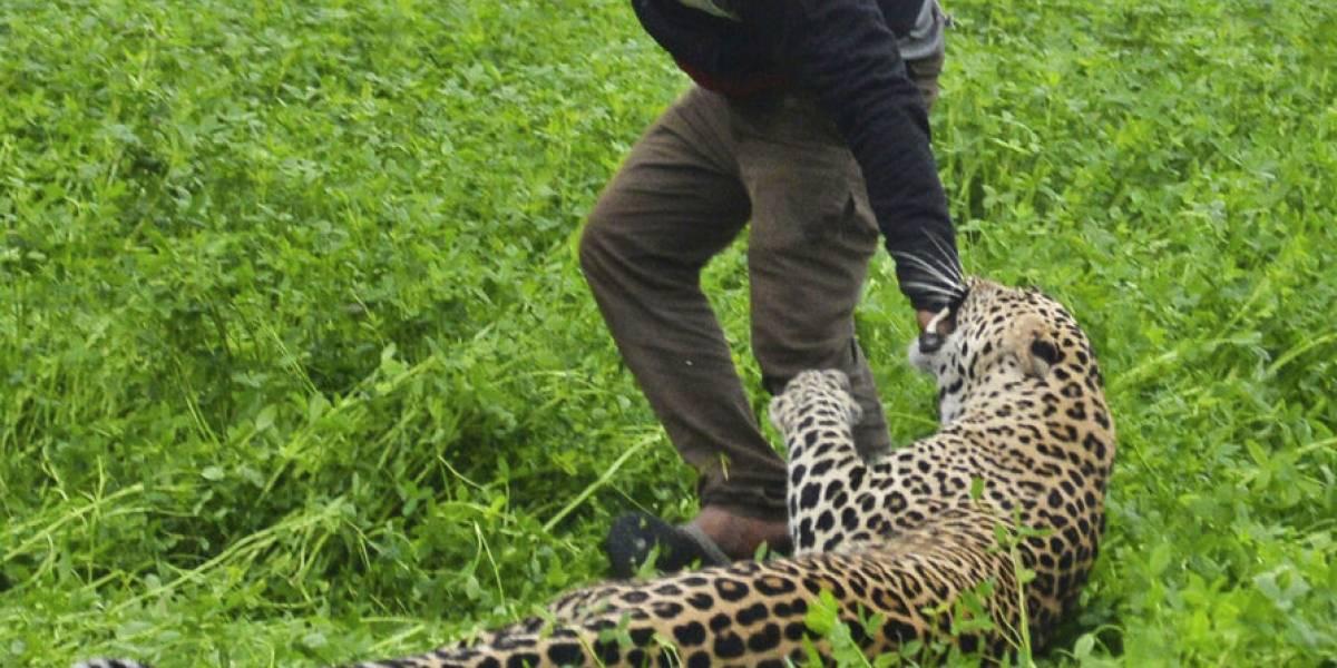 Leopardo hiere a cuatro personas en zona residencial en India