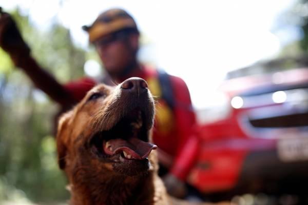 cães nas buscas em Brumadinho cachorro