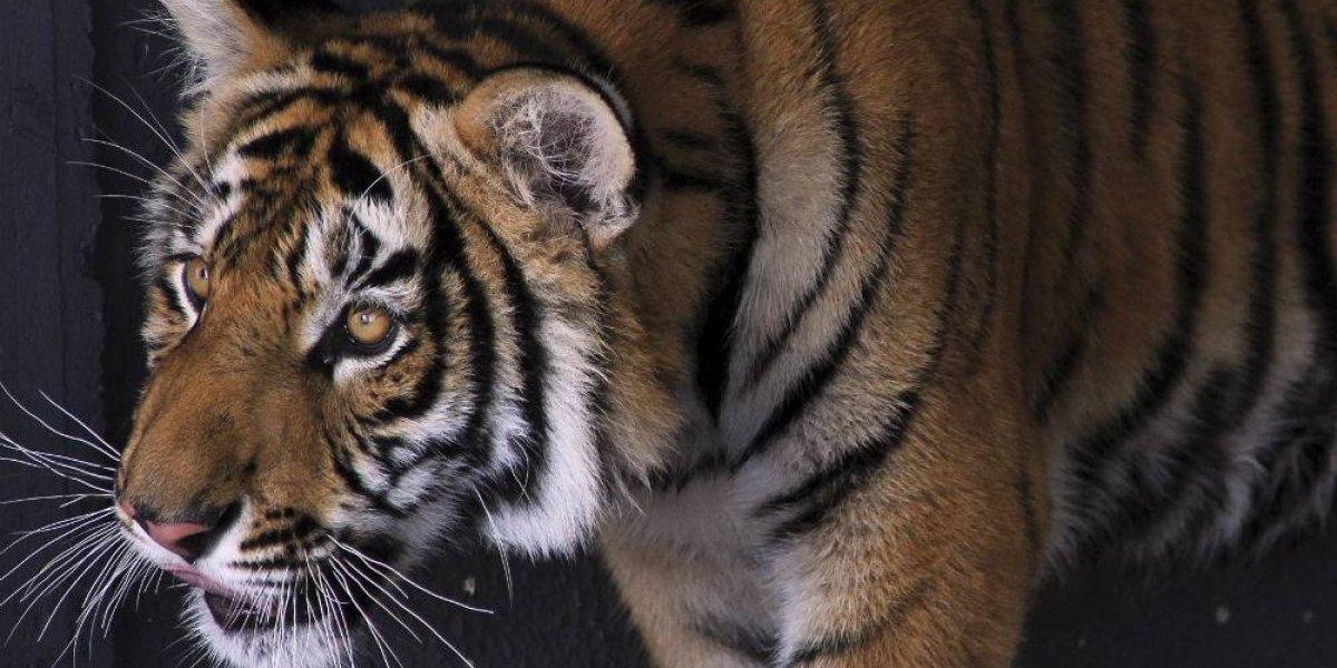 Niegan presencia de tigre en Desierto de los Leones