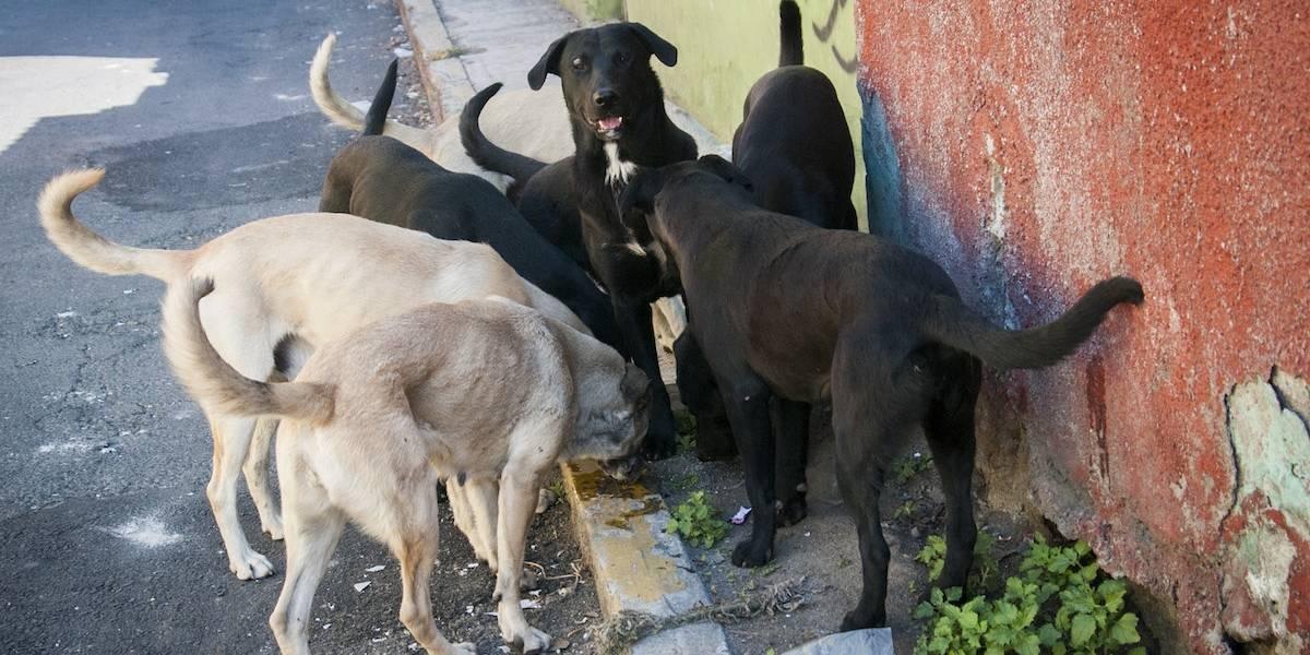 Capturan a cinco perros por muerte de una mujer en Tecámac