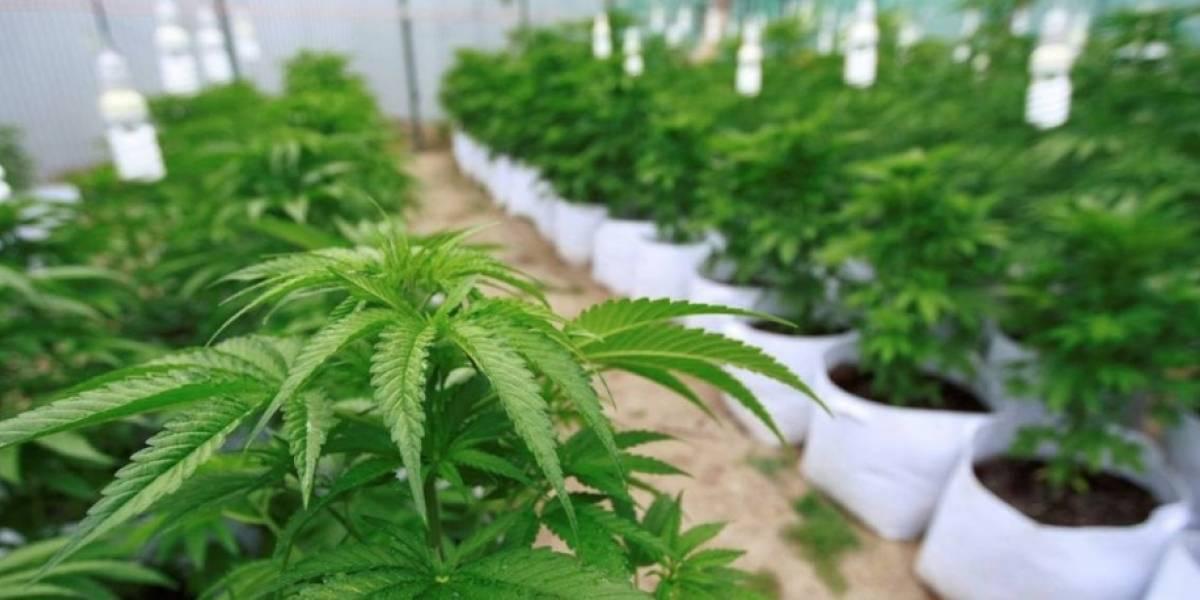 Lo fueron a detener por no pago de pensión alimenticia y le encontraron 20 plantas de marihuana: dijo que las quería vender para pagar la deuda