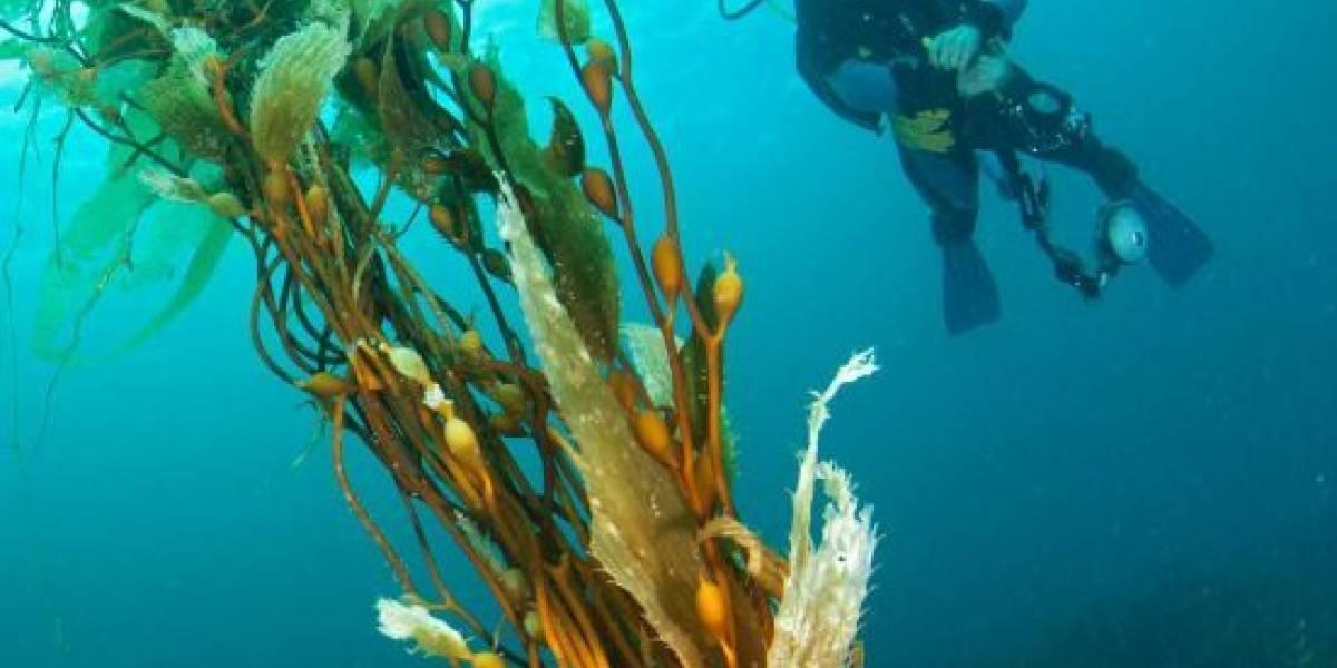 [Fotos] Las algas gigantes de la Isla de Tasmania están en un punto realmente crítico