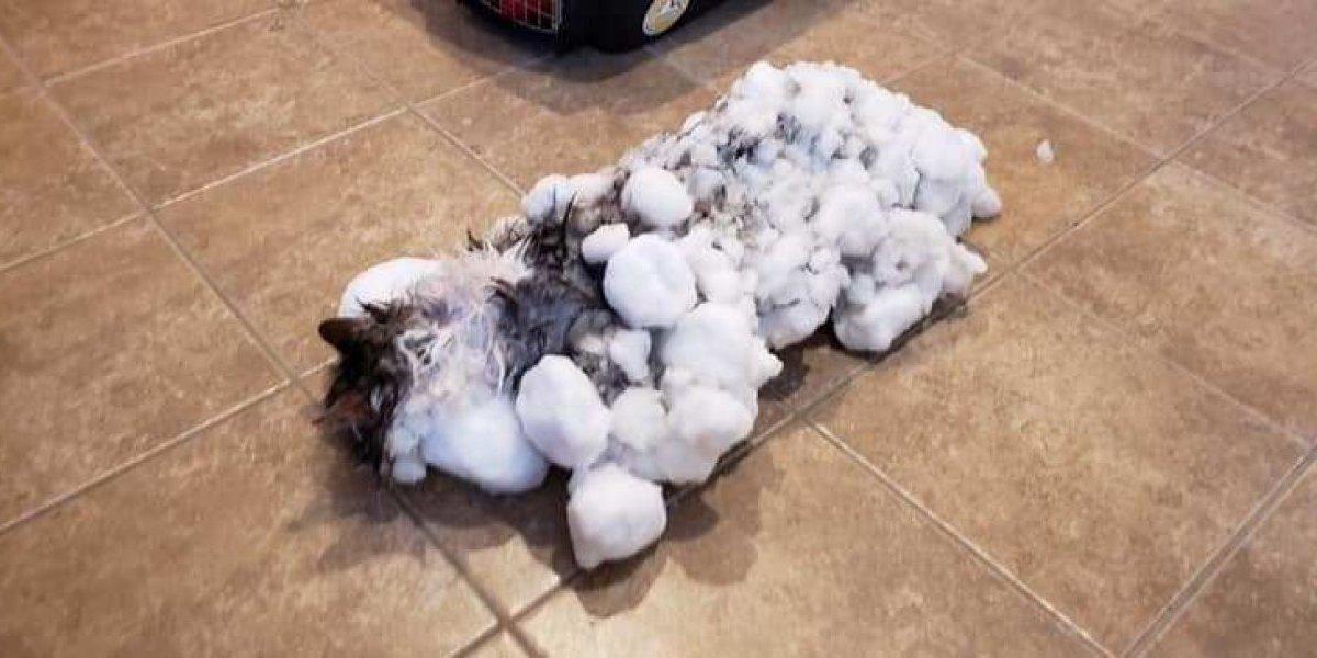 ¡Increíble! criogenia animal, un gato es descongelado luego de permanecer enterrado en la nieve