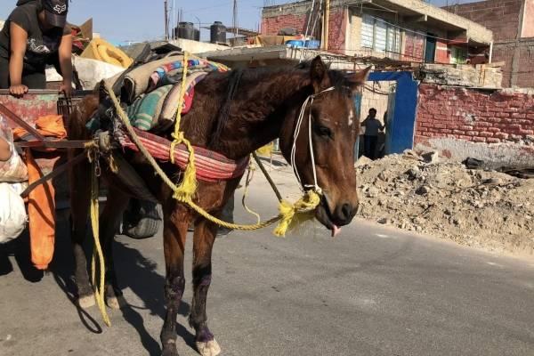 Explotados y maltratados hasta la muerte terminan los caballos de carga en el Edomex.