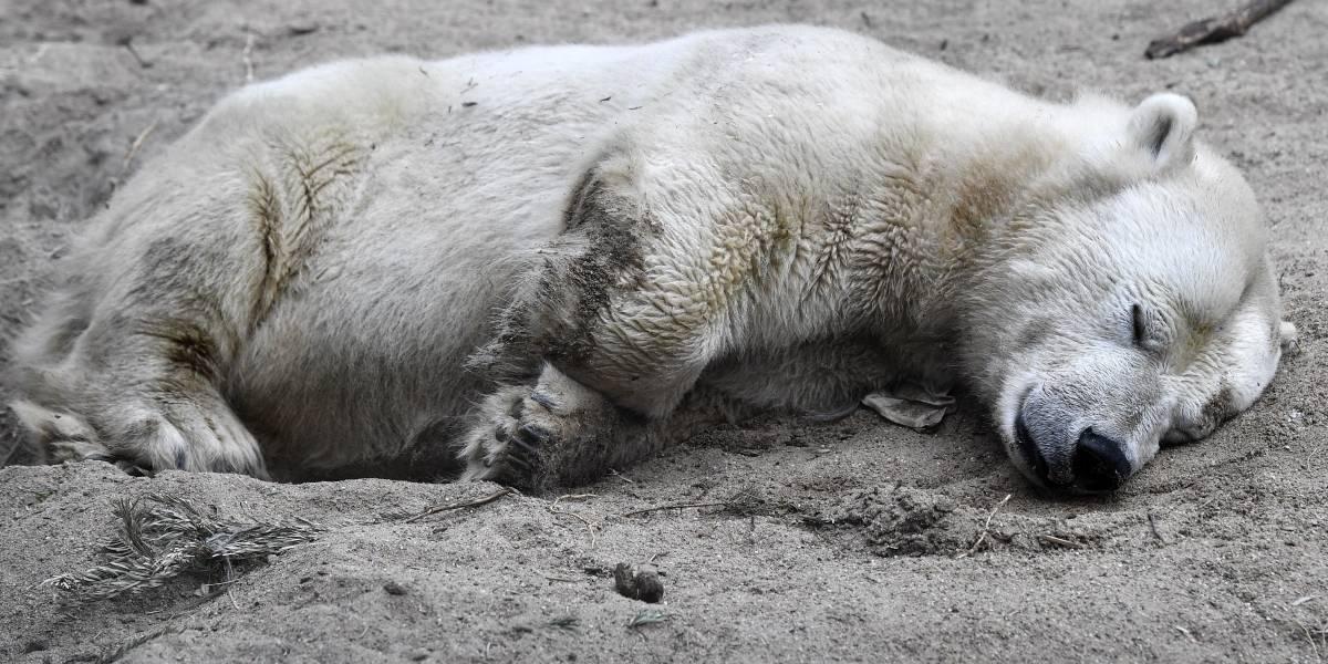 Declaran estado de emergencia: osos polares huyen del cambio climático e invaden una población rusa