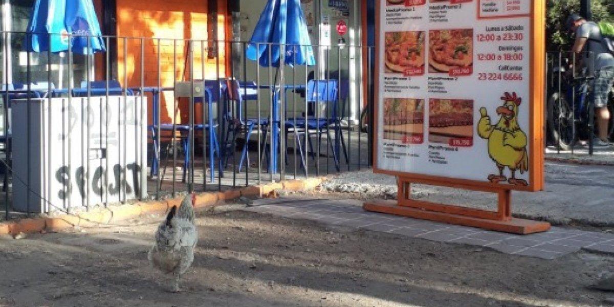 """""""Fue por un aviso de trabajo"""": las insólitas teorías acerca de la gallina que se pasea fuera de un local de pollos asados en Ñuñoa"""