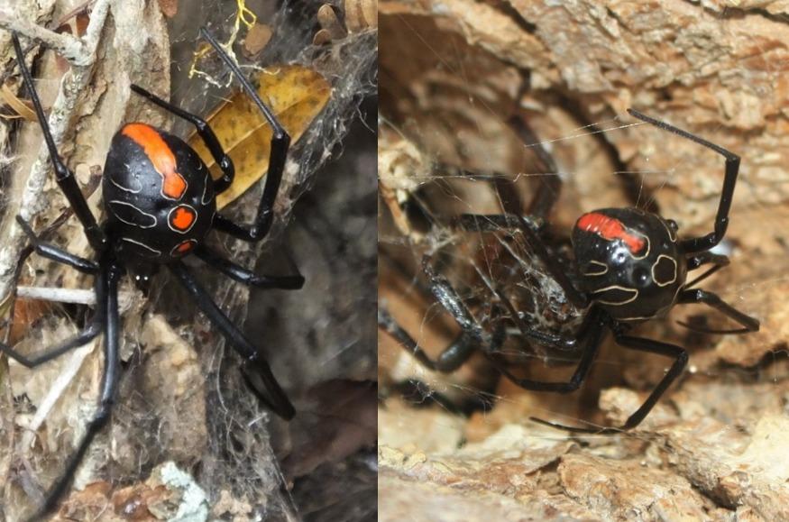 Terror: Descubren una araña Viuda Negra mucho más grande y mortal
