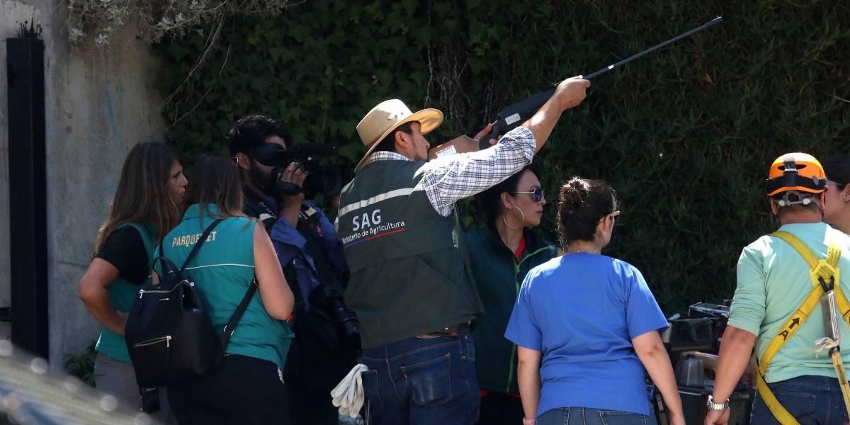 Rescatan a Puma en Chicureo: será trasladado al Zoológico Metropolitano
