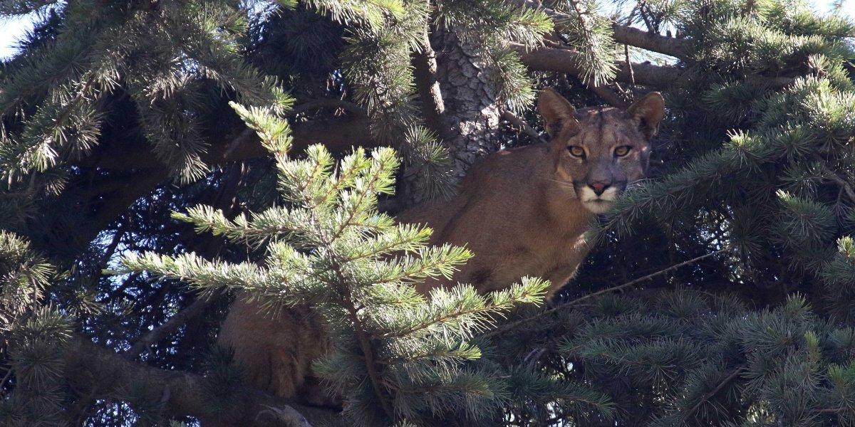 Otra vez: puma atrapado en un árbol moviliza a SAG y Bomberos en Chicureo