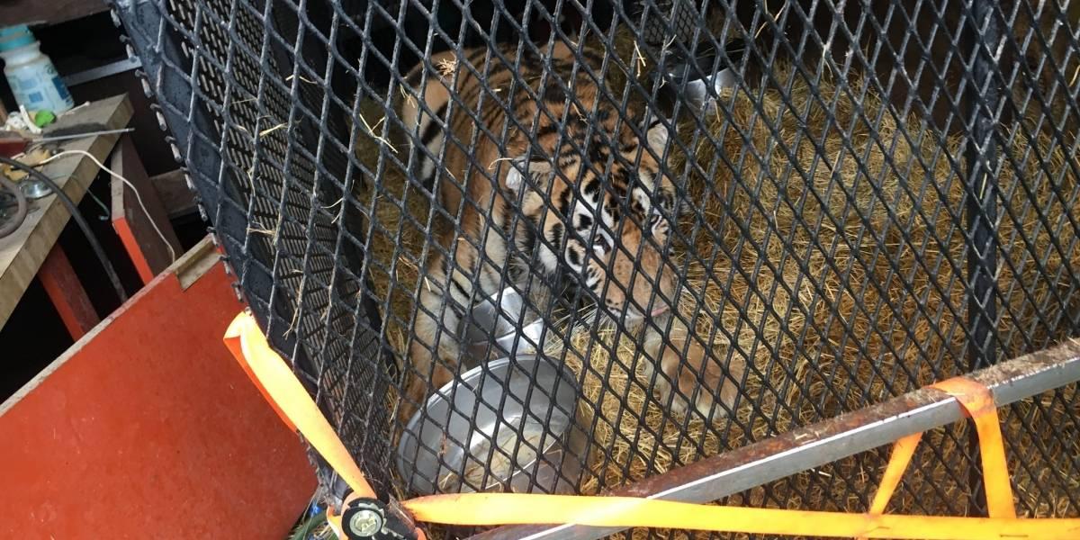 Homem invade casa para fumar maconha e encontra um tigre