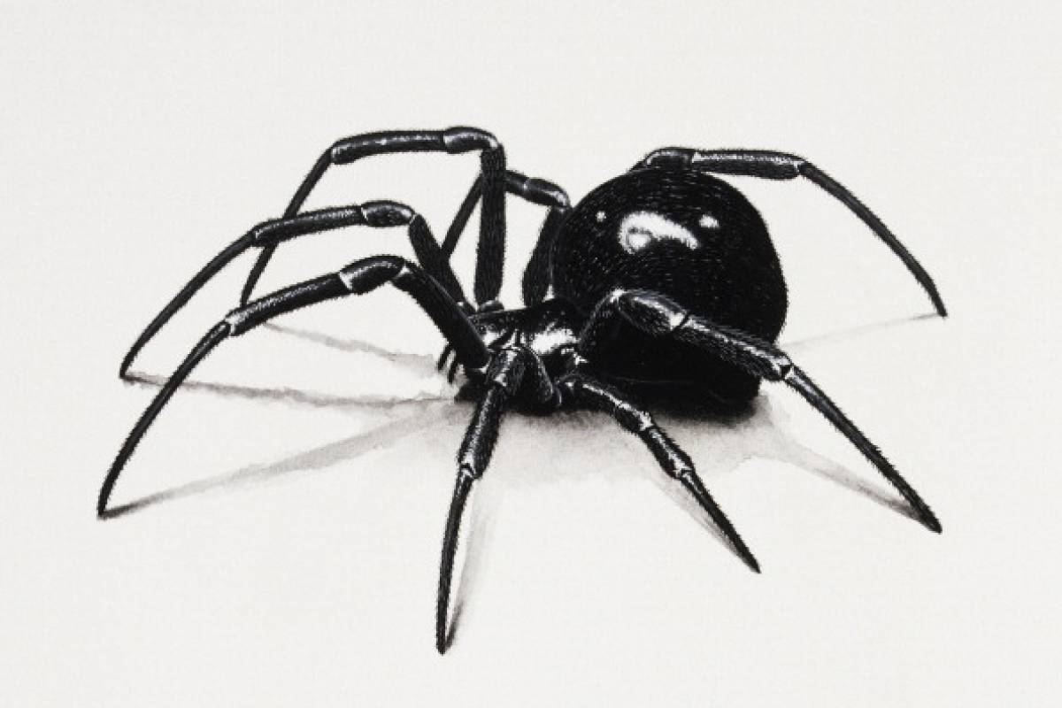 are black widow spiders deadly - 849×600