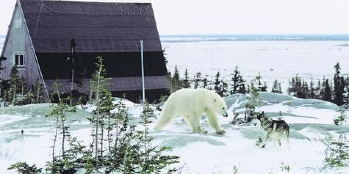 Declaran emergencia por invasión de osos polares