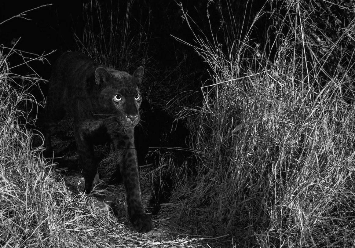 Pantera Negra: encuentran vieja especie del animal que expertos creían extinta